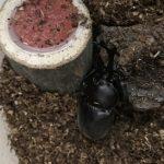 成虫がやってきた!カブトムシの餌はきゅうりNG?